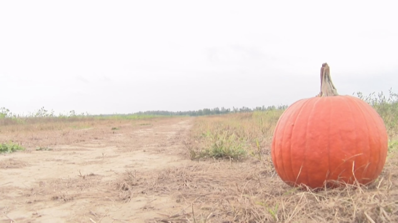 Image for Local pumpkin patch powering through low yield