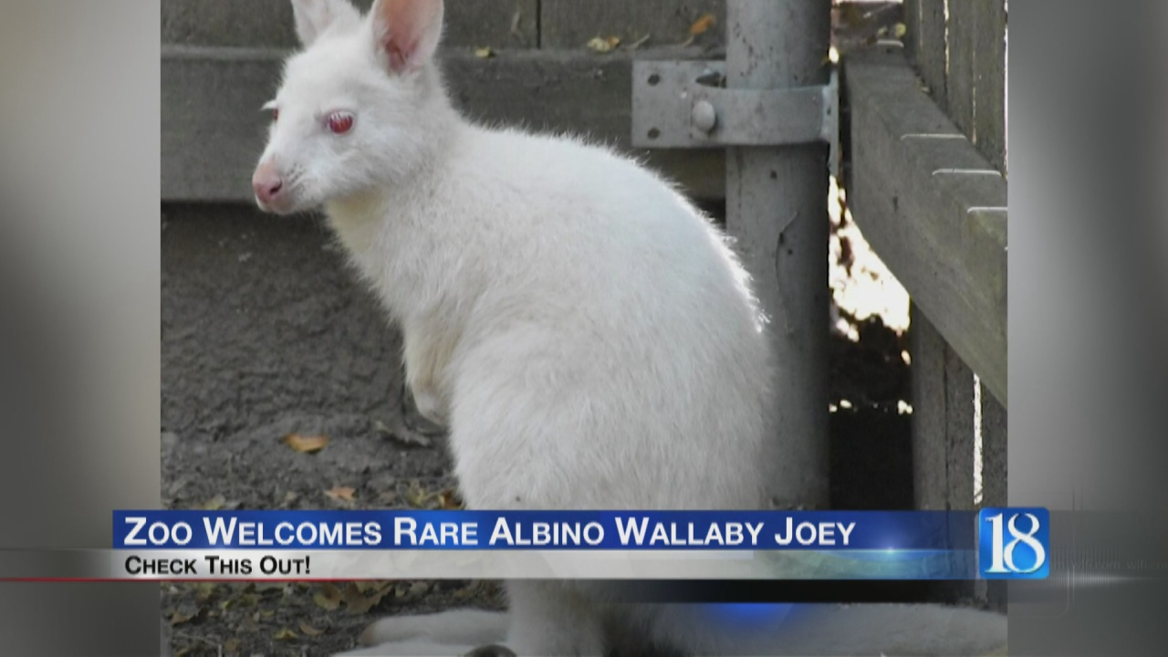 Image for Zoo welcomes albino wallaby